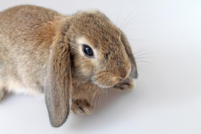 Brown Lop-earred rabbit on white background. Shooting in the studio royalty free stock images
