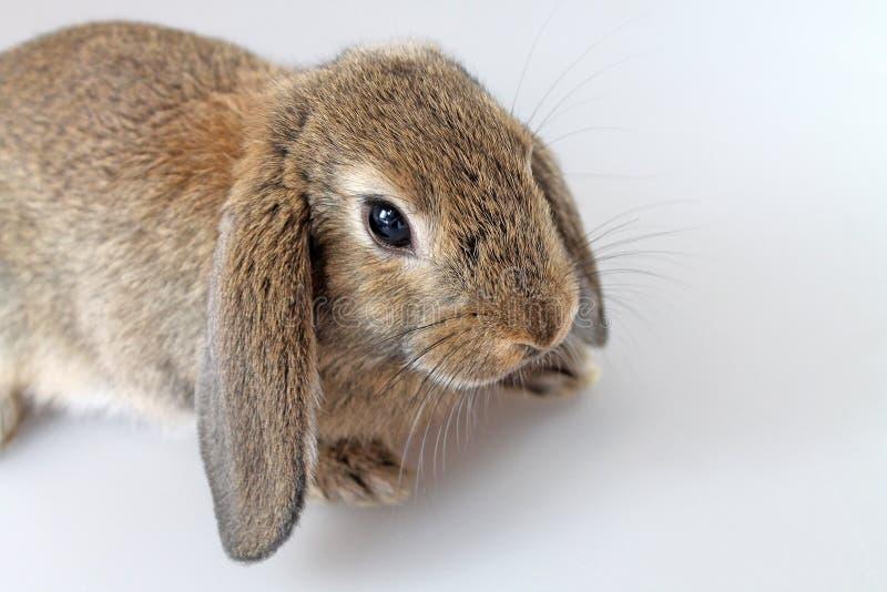 Brown Lop królik na białym tle obrazy royalty free