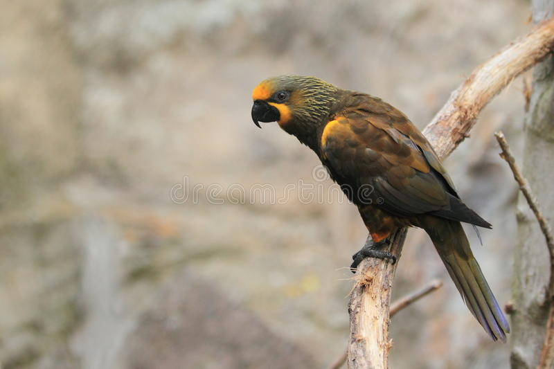 Download Brown lory stock image. Image of branch, duivenbodei - 27168441