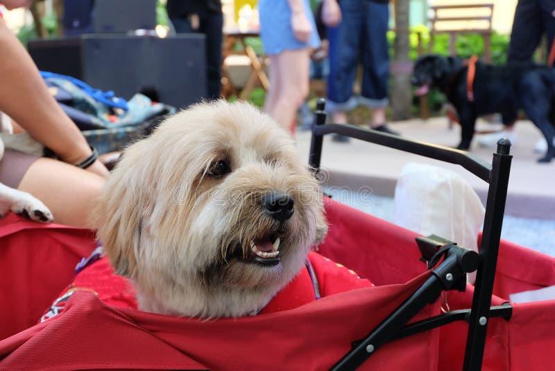 Brown a mélangé le chien de race portant les vêtements rouges se reposant dans le chariot rouge de chien photo libre de droits