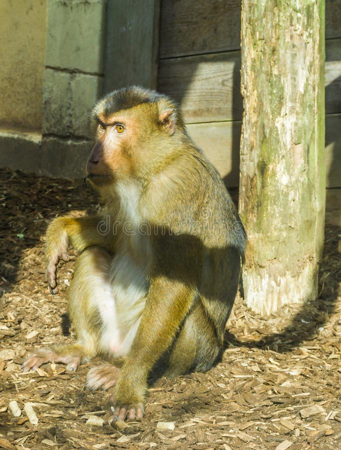 Brown macaque monkey sitting on the ground looking a bit angry or serious primate animal portrait. A brown macaque monkey sitting on the ground looking a bit royalty free stock image