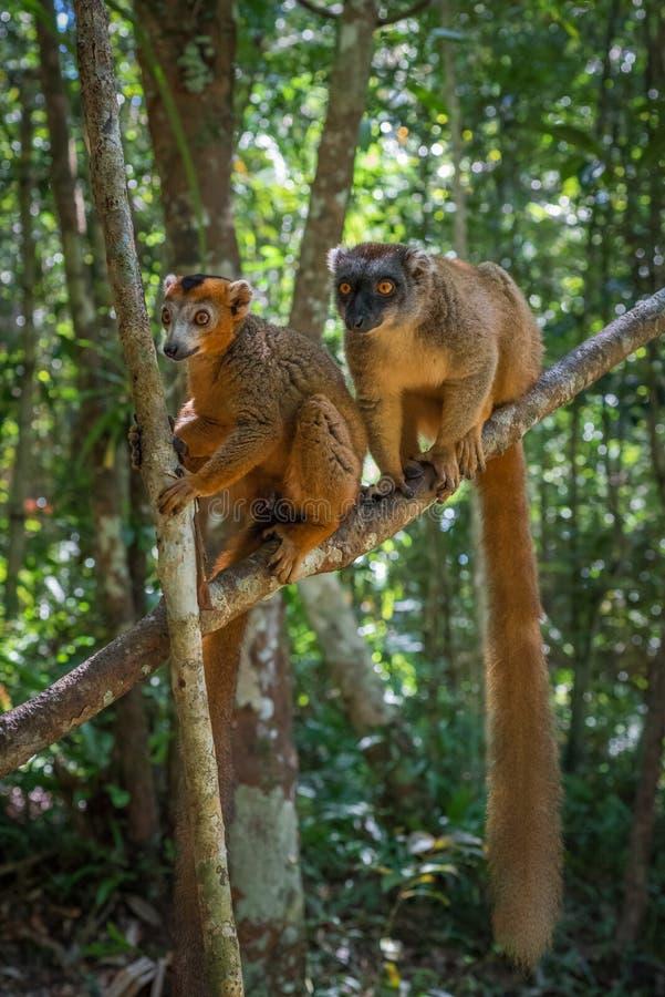 Brown-Maki von Madagaskar stockfotos