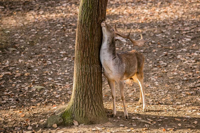 Brown male fallow deer with antlers standing by a tree royalty free stock photos