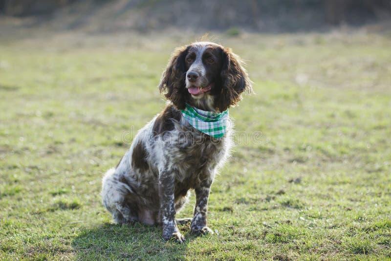 Brown manchó el perro de aguas ruso en la hierba verde fotografía de archivo libre de regalías