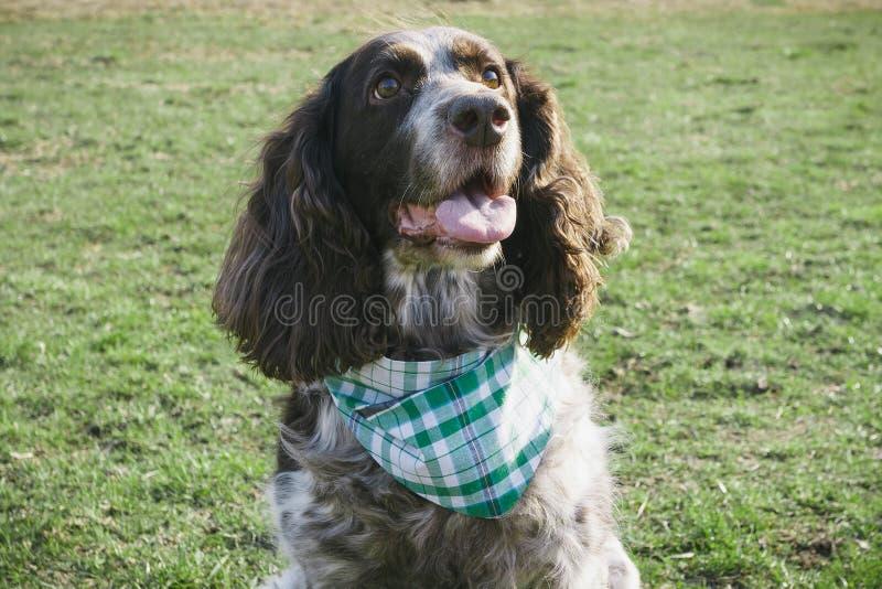 Brown manchó el perro de aguas ruso en la hierba verde fotografía de archivo