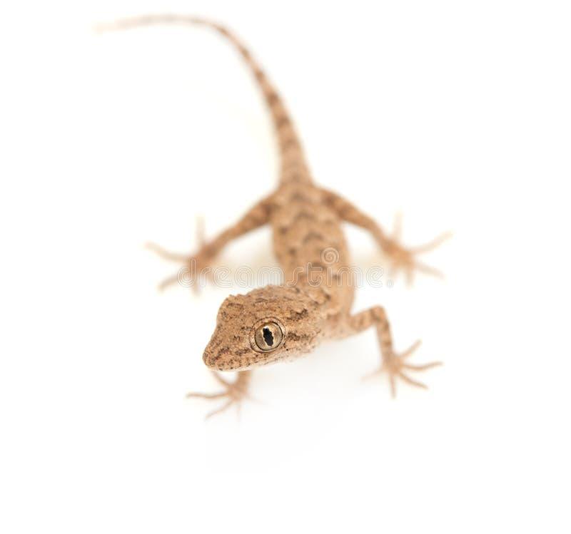 Brown manchó el reptil del gecko imagenes de archivo