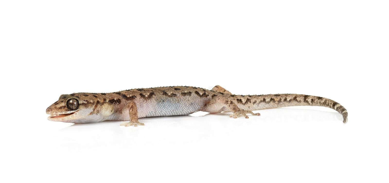 Brown manchó el reptil del gecko aislado imagen de archivo libre de regalías