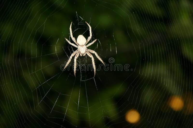 Brown manchó la araña de Orbweaver en el web complejo #2 imagen de archivo libre de regalías