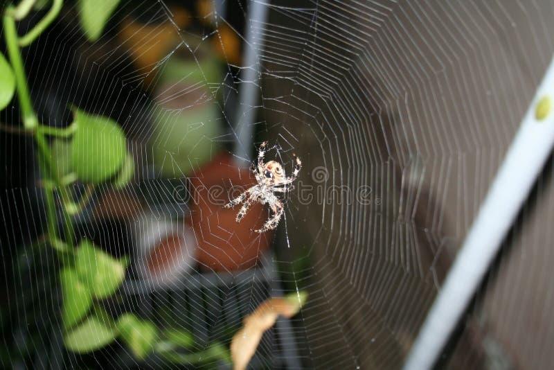 Brown manchó la araña de Orbweaver en web complejo fotografía de archivo libre de regalías
