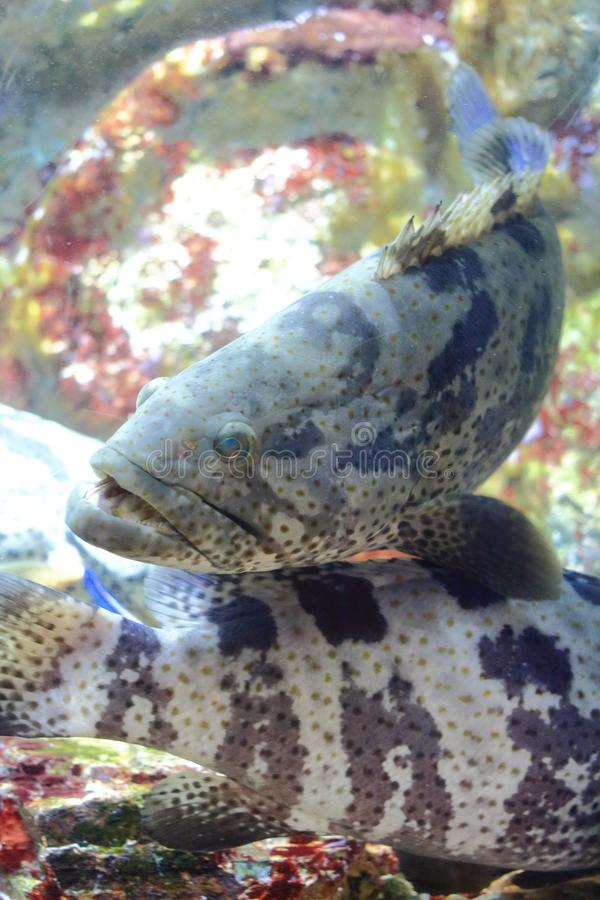 Brown-marbled grouper stock photography