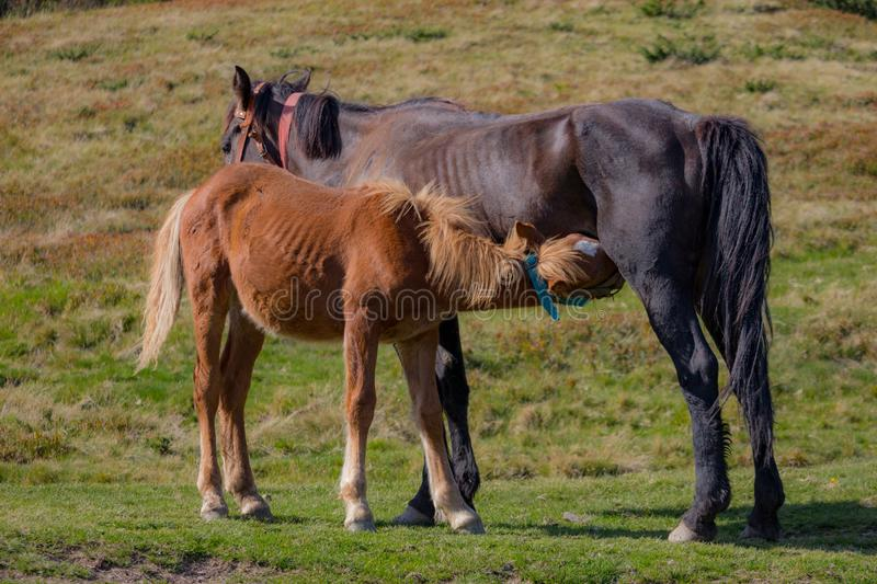 Brown mare feeding foal in field. Brown foal drinking milk. Horses in pasture. Farm life concept. Ranch animals. Mother care and love concept. Rural life royalty free stock images