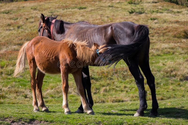 Brown mare feeding foal in field. Brown foal drinking milk. Horses in pasture. Farm life concept. Ranch animals. Mother care and love concept. Rural life stock images