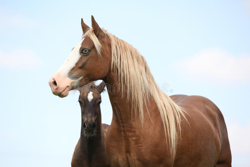 Brown mare with long mane standing with foal. Brown mare with long mane standing next to the foal on pasturage stock image
