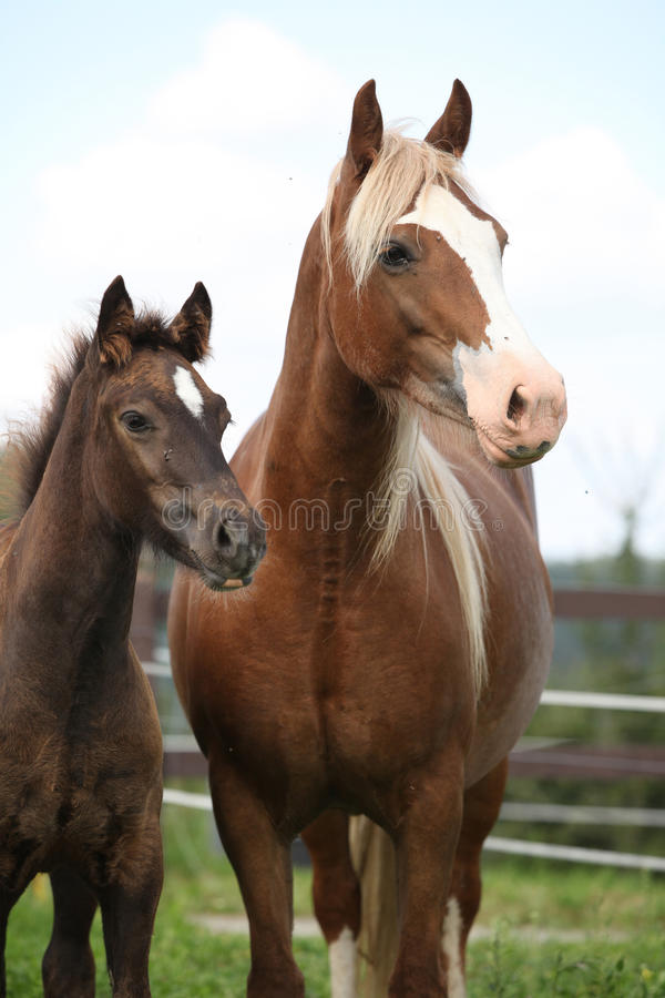 Brown mare with long mane standing with foal. Brown mare with long mane standing next to the foal on pasturage royalty free stock photos