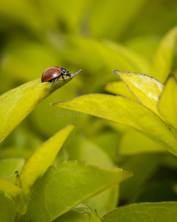 Brown-Marienkäfer auf einem Baumblatt stockbilder