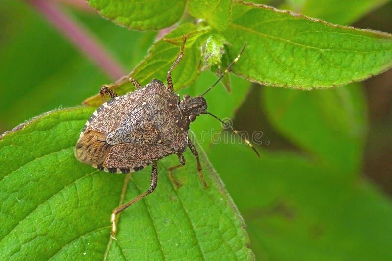 Brown marmorated a adulto de los halys de Halyomorpha del insecto del hedor imágenes de archivo libres de regalías