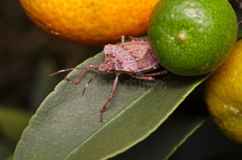 Brown marmorated halys de Halyomorpha do erro do fedor em uma folha verde de uma árvore de limão fotografia de stock