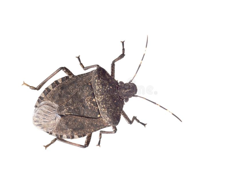 Brown marmorated stink bug Halyomorpha halys, an invasive species from Asia. Isolated on white. stock images