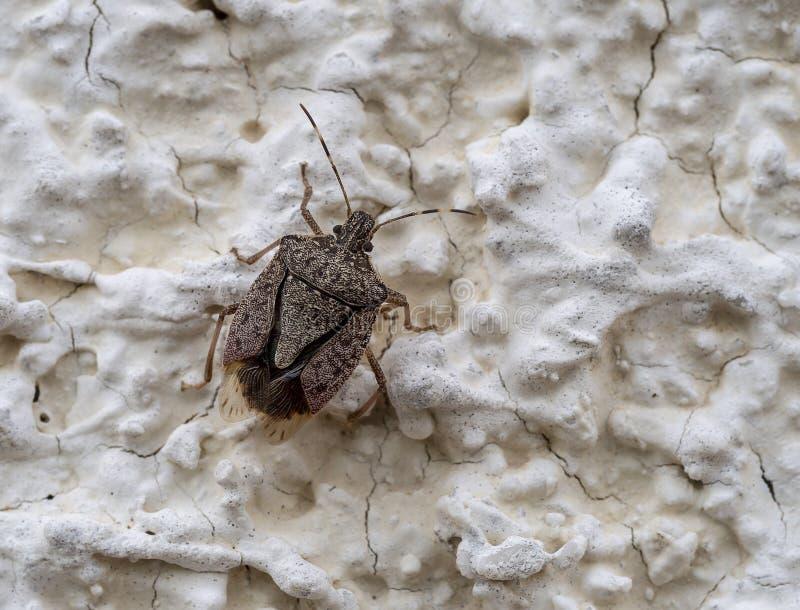 Brown Marmorated Stink Bug , Halyomorpha halys, on wall- stock photo
