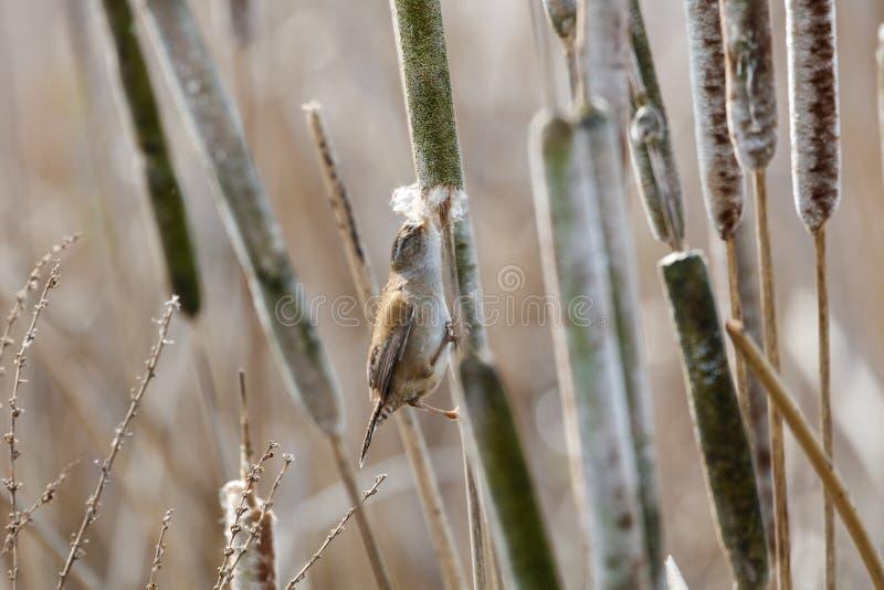Brown Marsh Wren image libre de droits