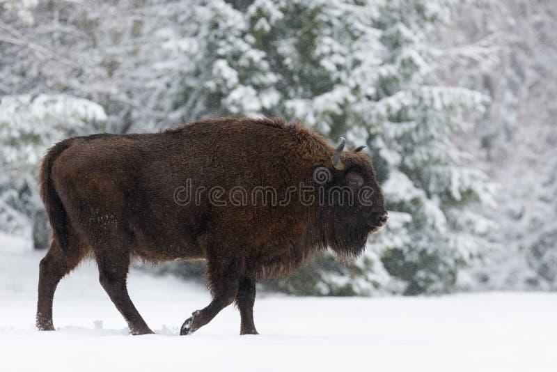 Brown maternal Bison Close Up Europeo salvaje Brown Bison Bison Bonasus In Winter Time Bisonte europeo adulto del Aurochs, símbol foto de archivo libre de regalías