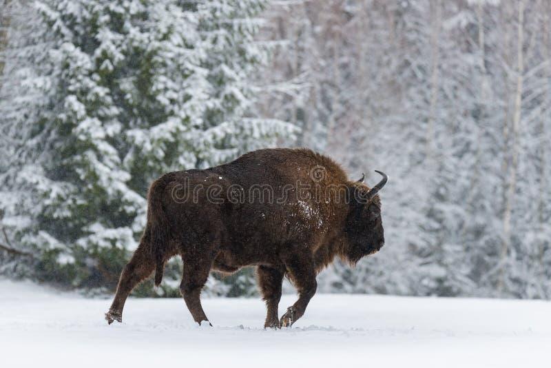 Brown maternal Bison Walking On Snow Europeo salvaje Brown Bison Bison Bonasus In Winter Time Bisonte europeo adulto del Aurochs, fotografía de archivo