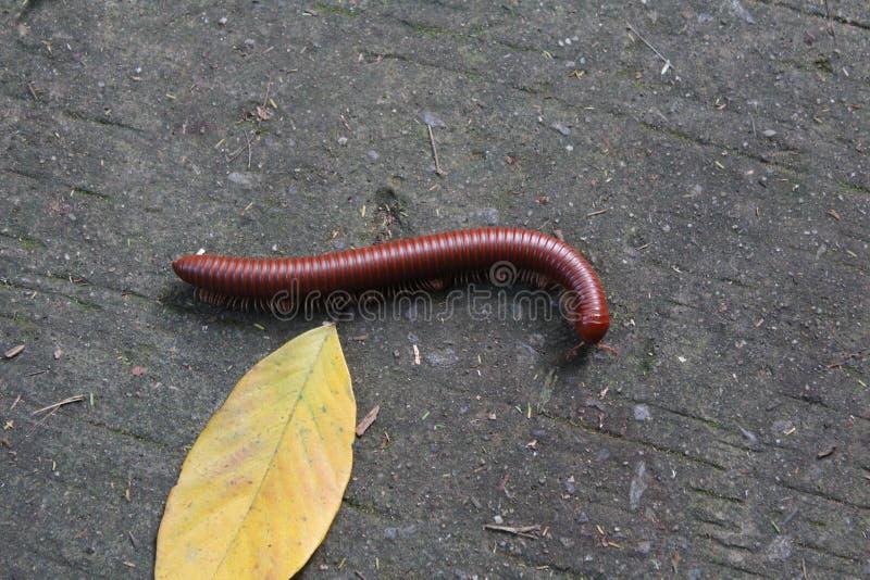 Brown millipede on the ground stock photos