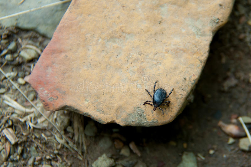 Brown mite. Sitting on a rock close up royalty free stock photos
