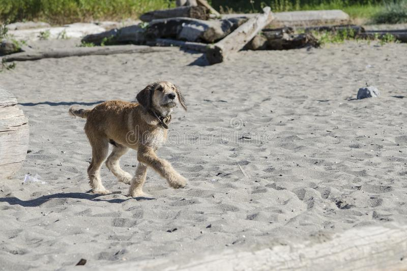 A brown puppy saunters through the sand at the beach. A brown mixed breed puppy walks leisurely through the sand at the dog beach stock photo