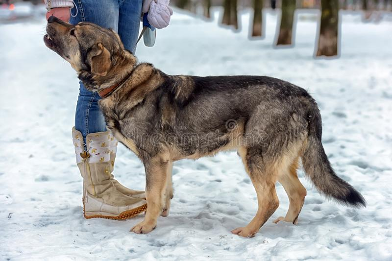 brown mongrel dog mongrel at the feet of the hostess in the winter for a walk royalty free stock images