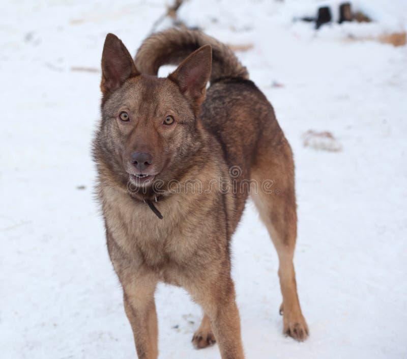 Brown mongrel dog standing on snow. Brown mongrel dog standing on white snow stock photos