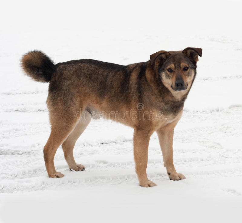 Brown mongrel dog standing in snow. Brown mongrel dog standing in white snow stock images