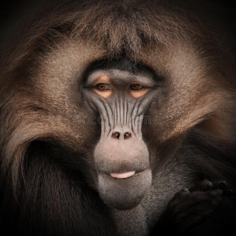 Brown monkey royalty free stock photography