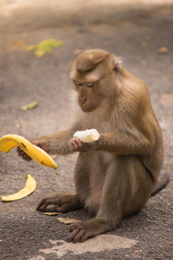 Brown monkey. Sitting on ground floor and eating yellow ripe banana royalty free stock photos