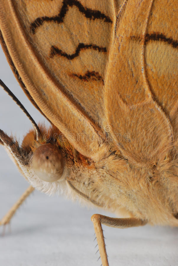 Brown Moth stock images