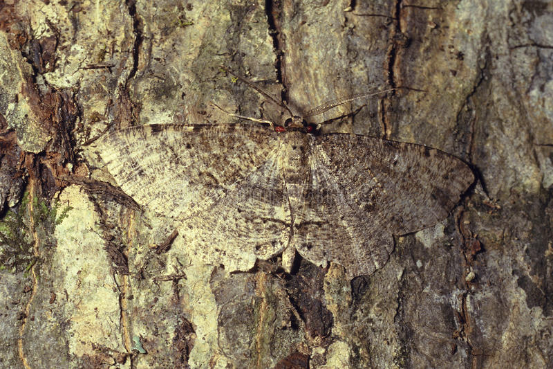 Brown moth camouflaged on tree bark stock photo