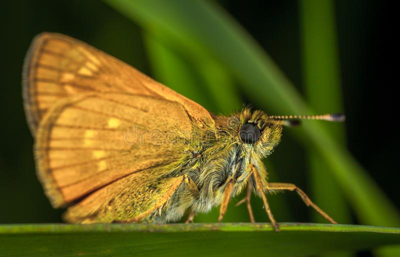 Brown Moth in close-up Photography stock afbeeldingen