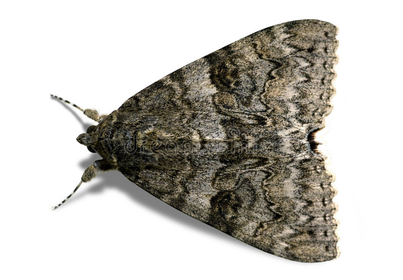 Brown Moth - Isolated stock images