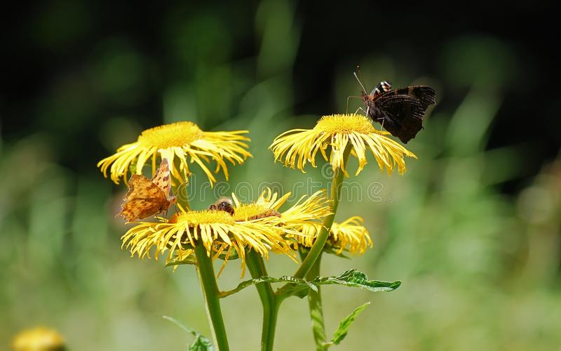 Brown Moth Perched on Yellow Flower at Daytime stock image