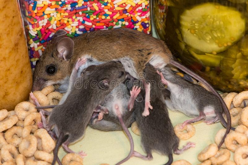 A brown mother house mouse, Mus musculus,nursing her young in a kitchen pantry. Side view of a wild brown house mouse, Mus musculus, with her gray offspring royalty free stock photo