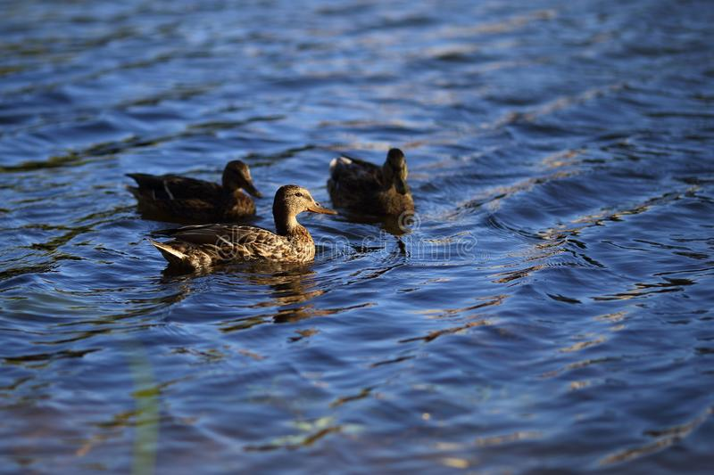 Brown motley female ducks swims in the calm waters of pond. Waves on the water. Brown motley female ducks swims in the calm waters of pond. A curious waterfowl stock photos