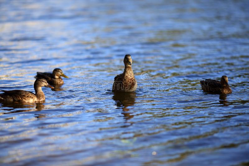 Brown motley female ducks swims in the calm waters of pond. Waves on the water. Brown motley female ducks swims in the calm waters of pond. A curious waterfowl royalty free stock photo