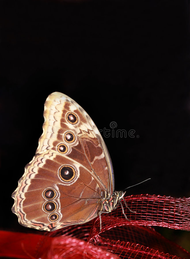 brown motyl obrazy royalty free