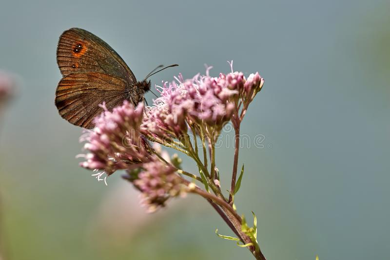 Brown motyli erebia ligea karmi na nektarze kwiat obrazy royalty free