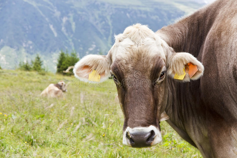 Download Brown Mountain Cows stock image. Image of nature, welfare - 26403107