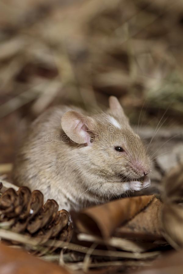 Brown mouse field. Eating seed royalty free stock photography