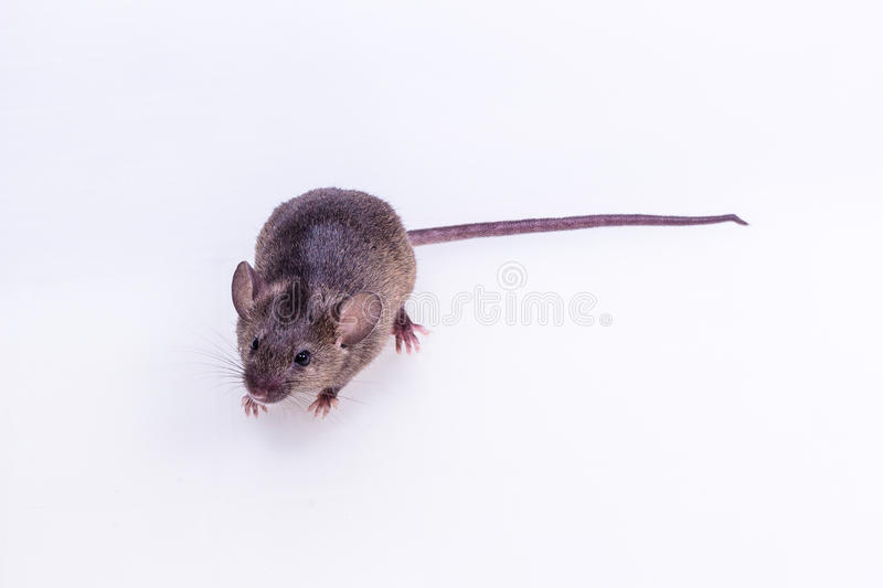 Brown Mouse, Rodent, Rat stock images