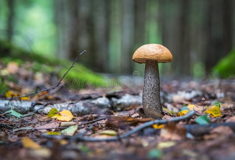 Brown Mushroom at Daytime stock images