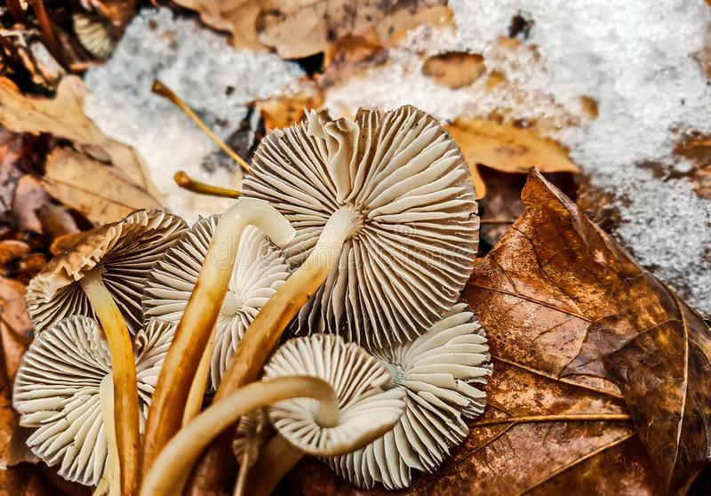Brown mushroom in november. And snow stock photo