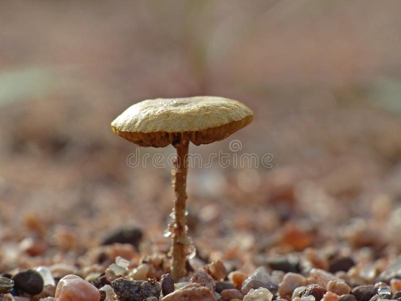 Brown Mushroom On Red Sand 2. Brown mushroom on a red sand background stock photos